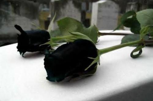 احدث صور الورد الاسود صور وردة سوداء خلفيات ورد و زهور سوداء للتصميم مجلة رجيم