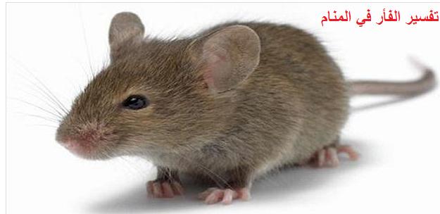 تفسير الفأر في المنام مجلة رجيم
