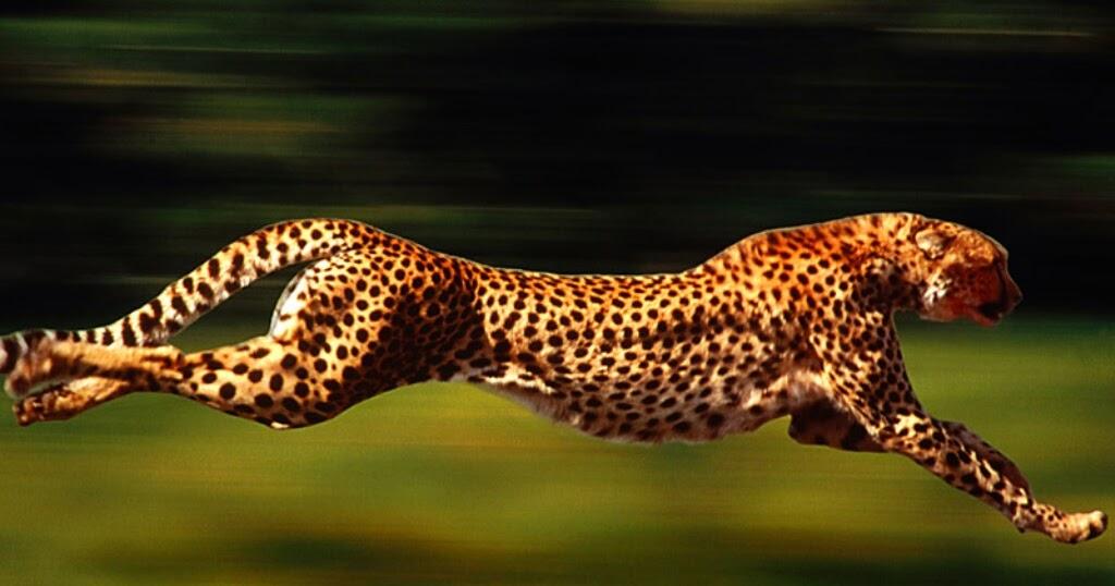 أسرع 10 حيوانات في العالم ما هو اسرع حيوان مجلة رجيم
