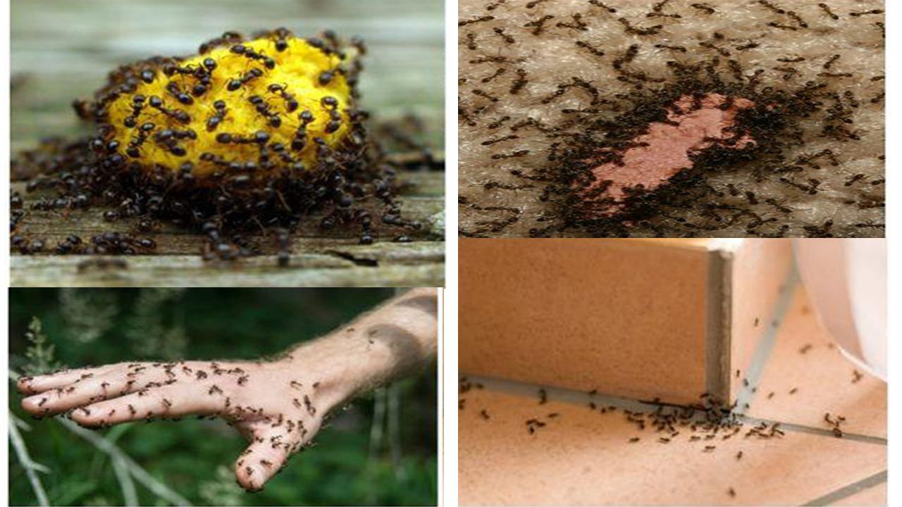 كيفية التخلص من النمل الأسود أفضل طرق وقاية المنزل من النمل الأسود