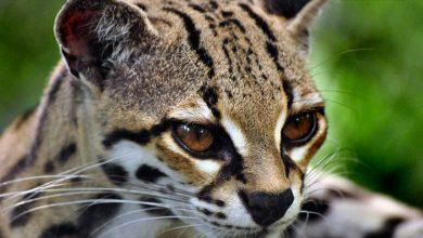 صور قط المارجاي Margay cat