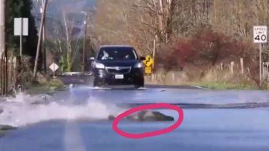 أسماك تعبر الطريق أثناء مرور المركبات شاهد هذا الفيديو العجيب
