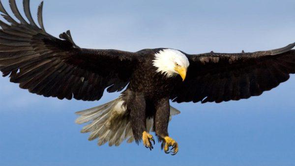 طيور جارحة