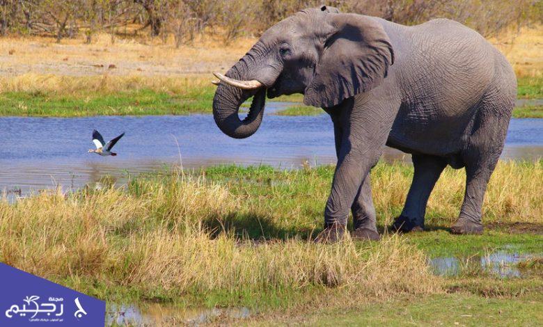 تفسير رؤية الفيل في المنام للمرأة الحامل والمتزوجة وللرجال