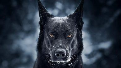 تفسير حلم الكلب الاسود