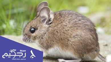 ماذا يعني حلم الفئران في المنام