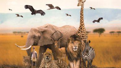 حلم الحيوانات المفترسة للعزباء